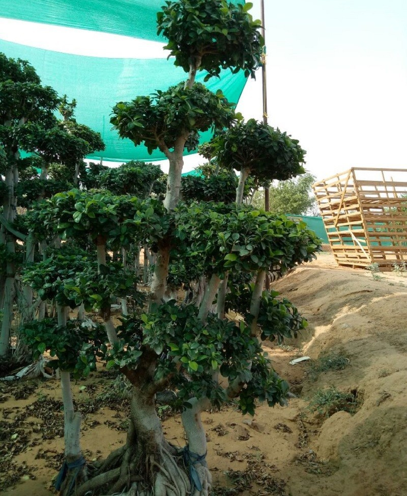 Ficus Microcarpa (Ficus Ginseng) Multi Ball Medium Tree