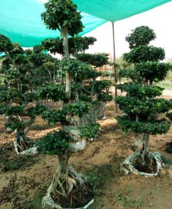Ficus Microcarpa (Ficus Ginseng) Multi Ball Small Tree