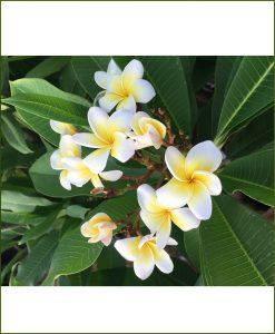 Frangipani (Champa) - Plumeria Acutifolia