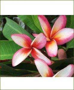 Frangipani (Champa) - Plumeria Acutifolia Rubra