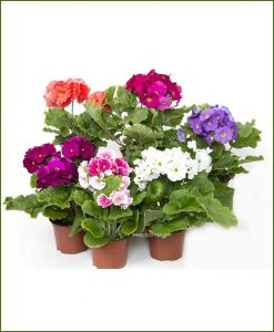 Geranium Mixed 10 inch Pot