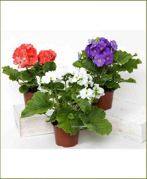 Geranium Mixed 8 inch Pot