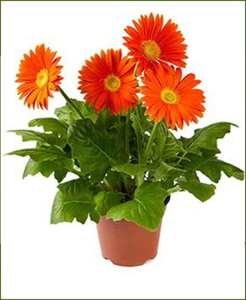 Gerbera Mixed (Barberton Daisy - Gerbera Jamesonii)