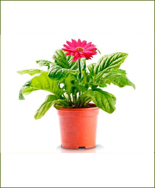 Gerbera Red (Barberton Daisy - Gerbera Jamesonii Red)