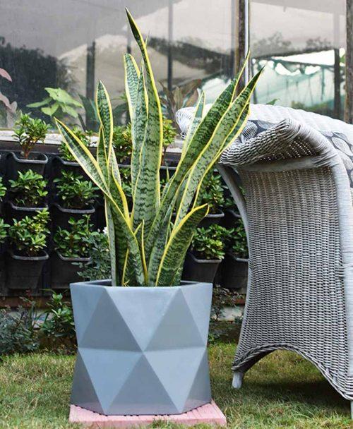 Fiber Glass Hexagon Shape Gray Planter with Snake Plant Variegated (Sansevieria)