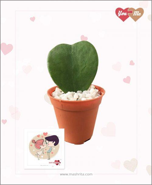 Hoya Kerrii Sweet Heart