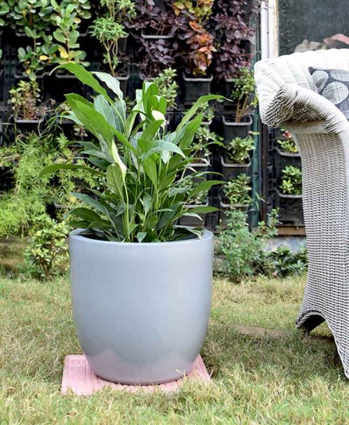 Fiber Glass Cup Shape Gray Planter with Peace Lily (Spathiphyllum)