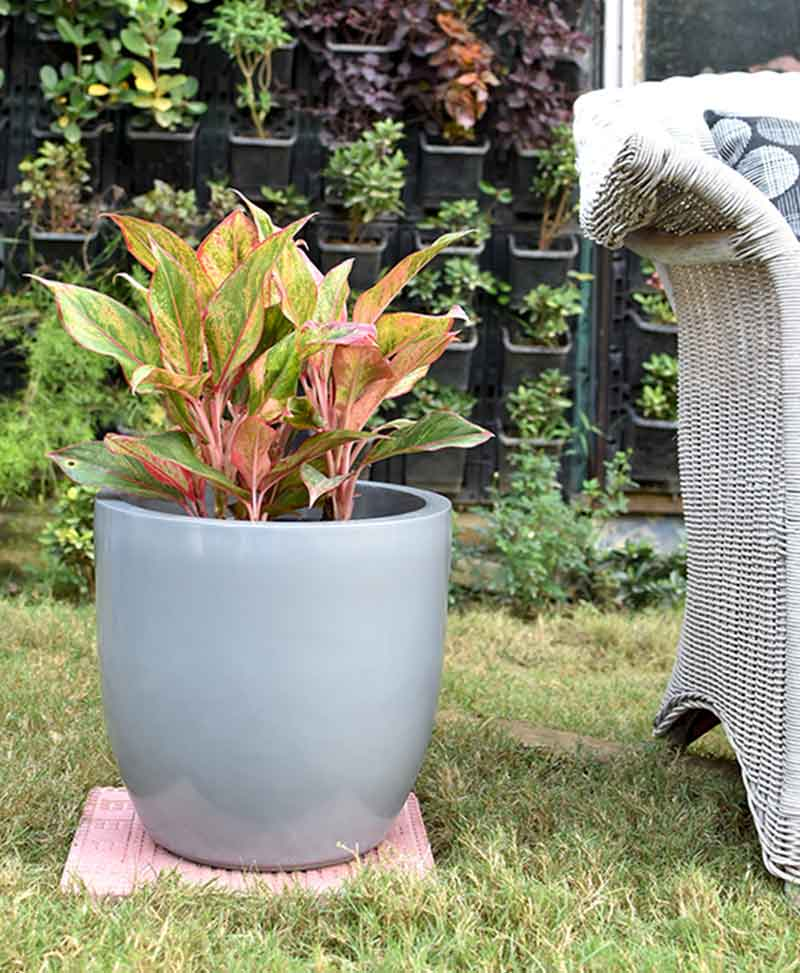 Fiber Glass Cup Shape Gray Planter with Aglaonema Red