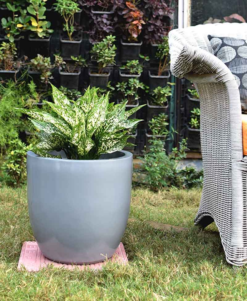 Fiber Glass Cup Shape Gray Planter with Aglaonema Snow White
