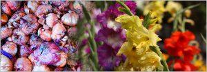 Growing Gladiolus Bulbs (Sword Lily)