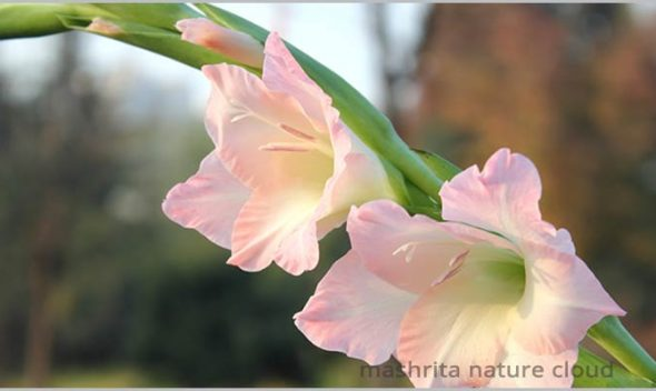 Growing Gladiolus Bulbs (Sword Lily)