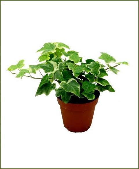 Hedera Helix (English Ivy) in 4 inch Pot