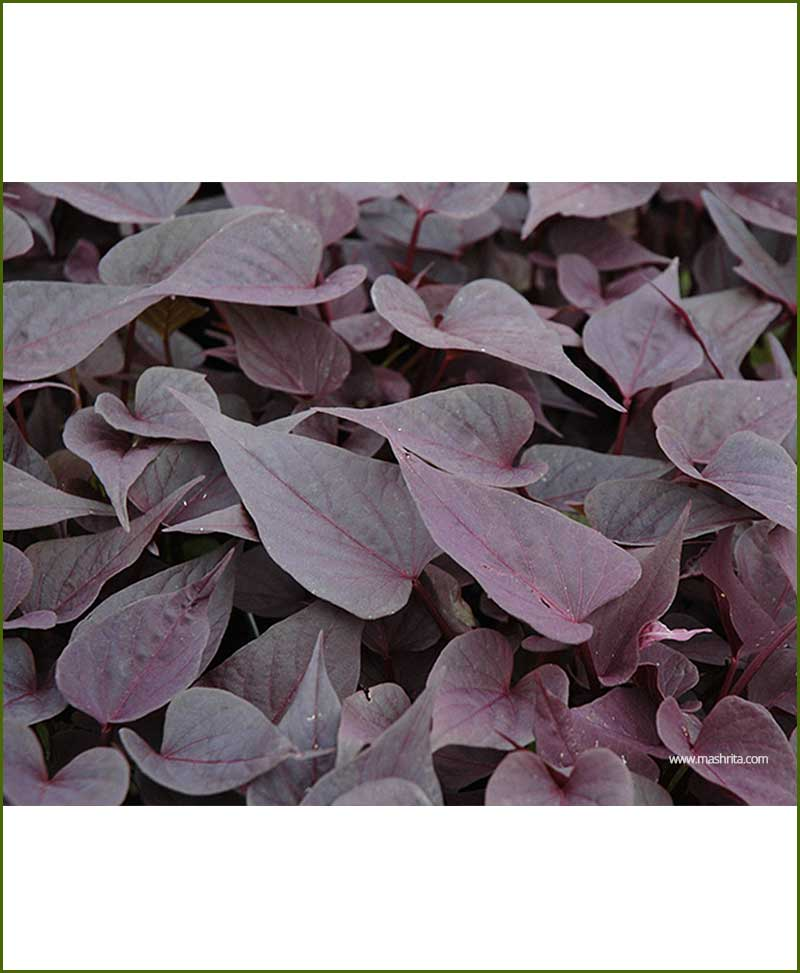 Ipomoea Purple - Sweet Potato Vine Purple