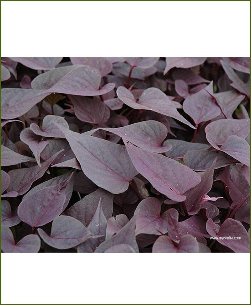 Ipomoea Purple - Sweet Potato Vine Purple