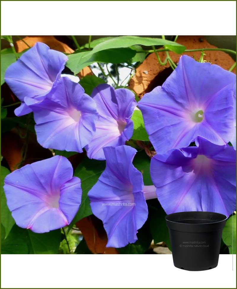Ipomoea Purpurea Mixed (Morning Glory)