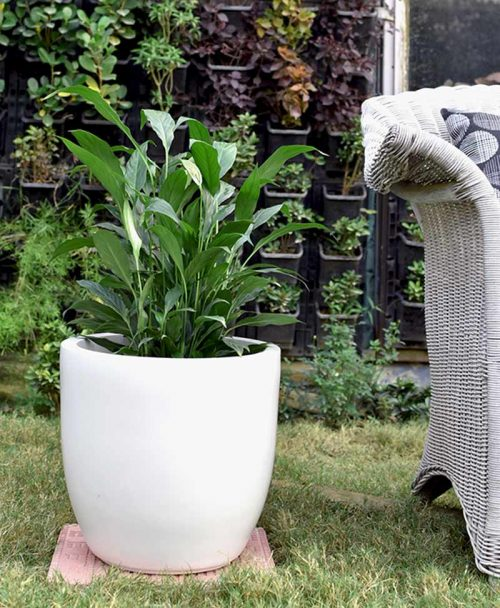 Fiber Glass Cup Shape Ivory Planter with Peace Lily (Spathiphyllum)