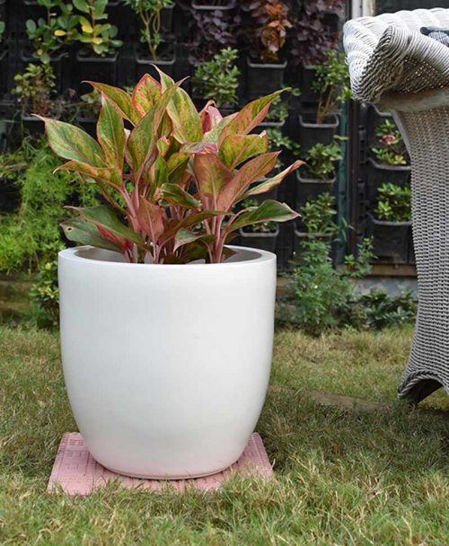 Fiber Glass Cup Shape Ivory Planter with Aglaonema Red