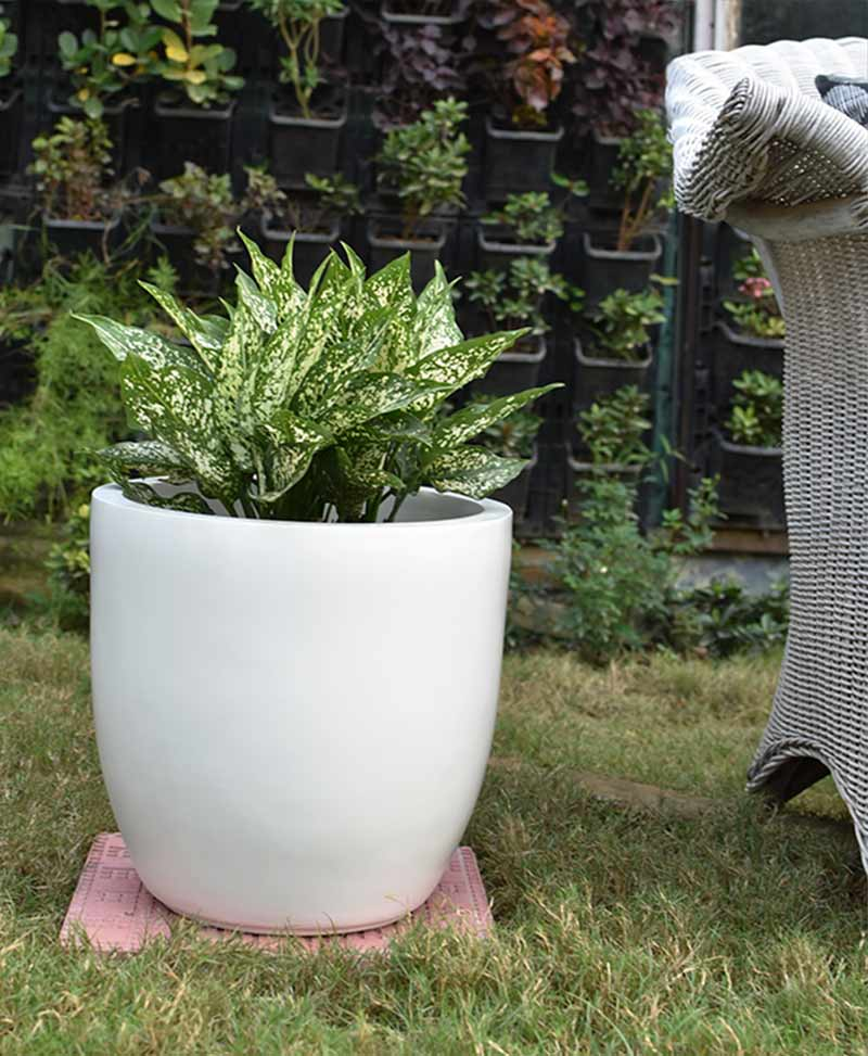 Fiber Glass Cup Shape Ivory Planter with Aglaonema Snow White