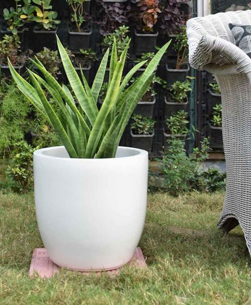 Fiber Glass Cup Shape Ivory Planter with Snake Plant Francisii (Sansevieria)