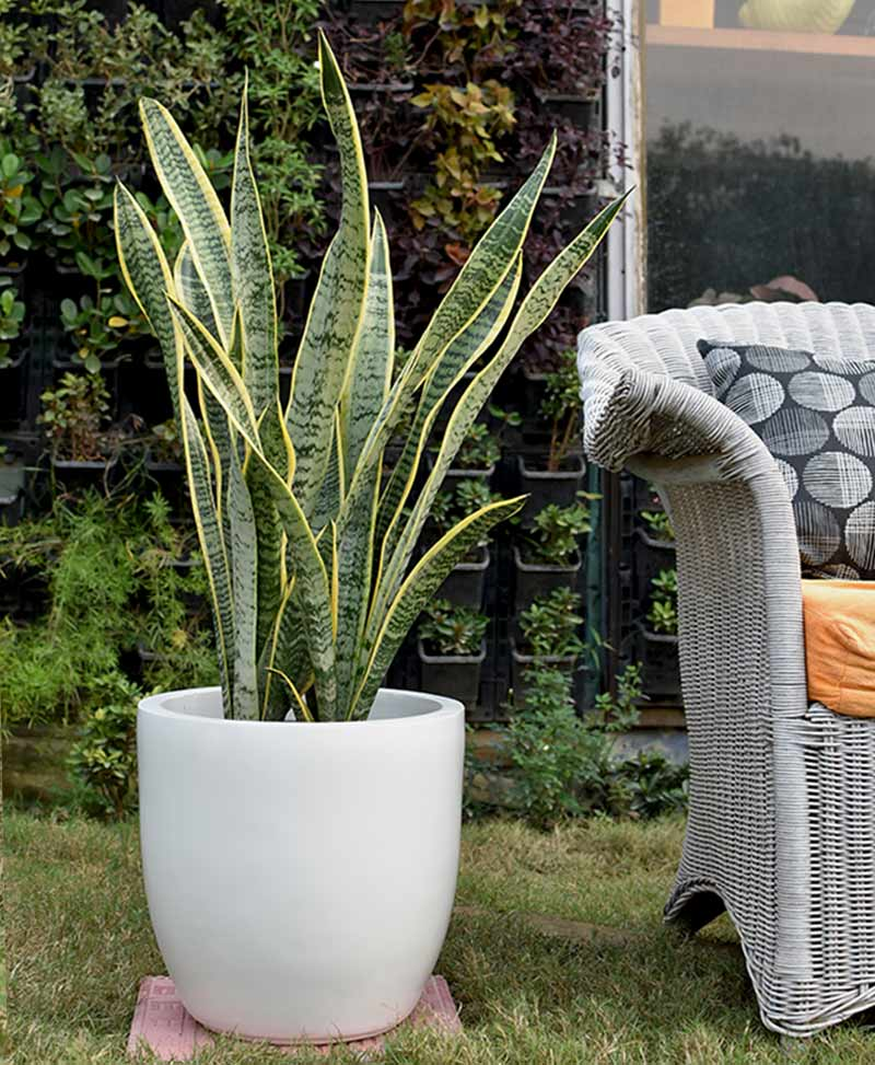 Fiber Glass Cup Shape Ivory Planter with Snake Plant Variegated (Sansevieria)
