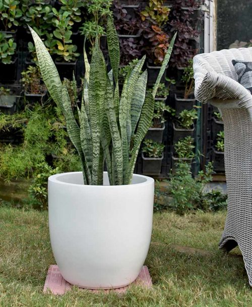 Fiber Glass Cup Shape Ivory Planter with Snake Plant Green (Sansevieria)