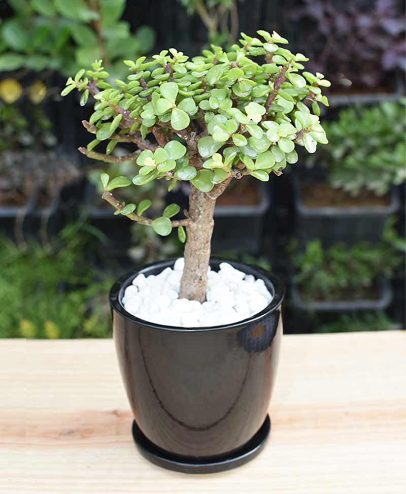 Ceramic Black Oval Pot with Jade Plant Bonsai