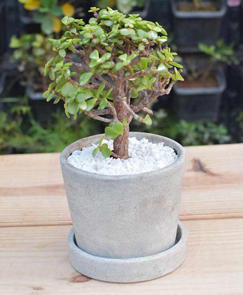 Ceramic Concrete Round Pot with Jade Plant Bonsai