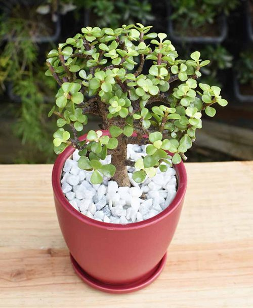 Ceramic Maroon Oval Pot with Jade Plant Bonsai -2