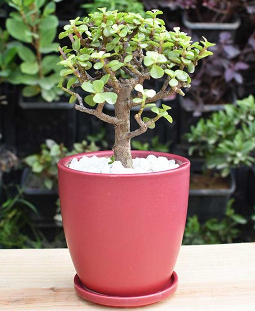 Ceramic Maroon Oval Pot with Jade Plant Bonsai
