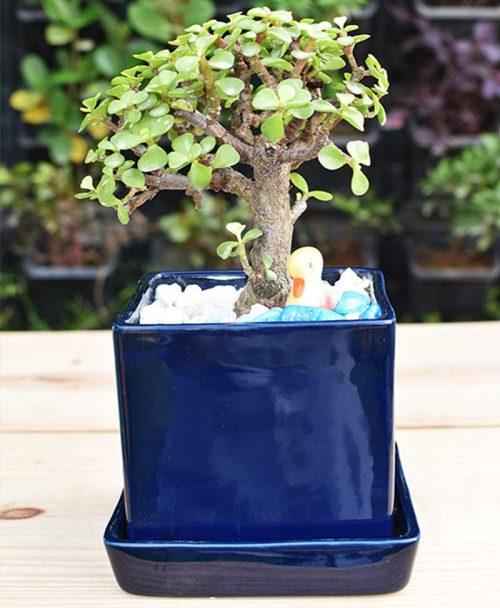 Ceramic Sea Blue Square Pot with Jade Plant Bonsai