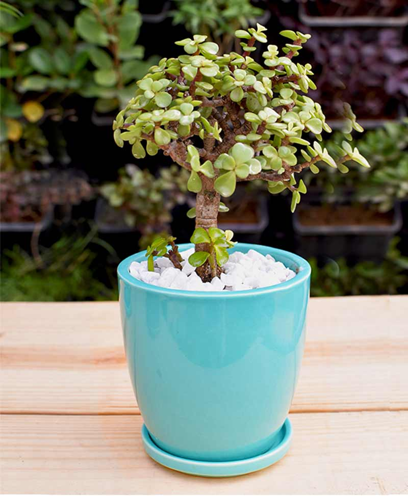 Ceramic Sea Green Oval Pot with Jade Plant Bonsai