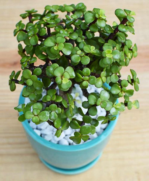 Ceramic Sea Green Oval Pot with Jade Plant Bonsai -2