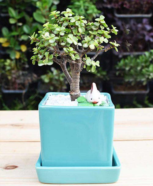 Ceramic Sea Green Square Pot with Jade Plant Bonsai