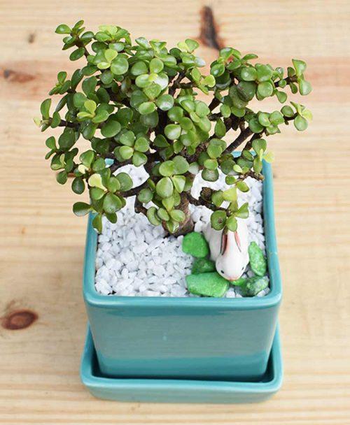 Ceramic Sea Green Square Pot with Jade Plant Bonsai -2