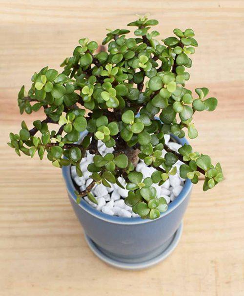 Ceramic Sky Blue Oval Pot with Jade Plant Bonsai -2