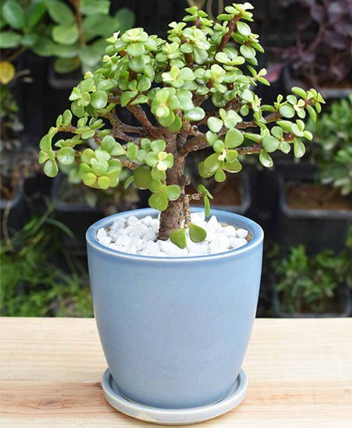Ceramic Sky Blue Oval Pot with Jade Plant Bonsai