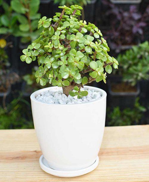 Ceramic White Oval Pot with Jade Plant Bonsai