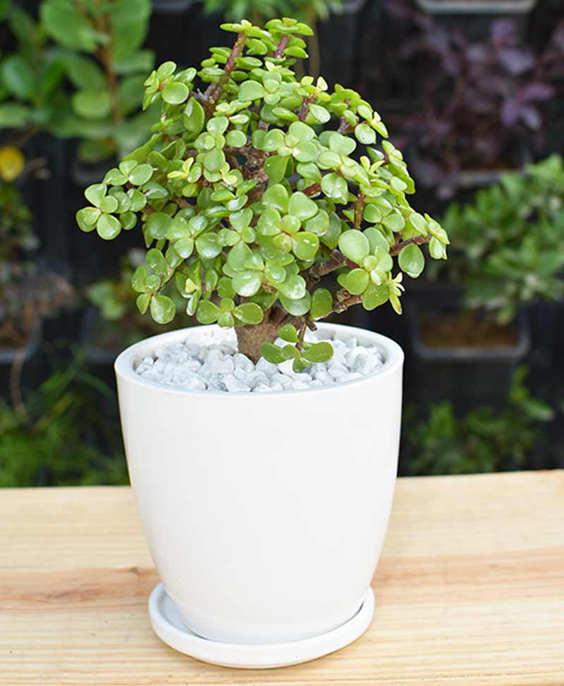 Ceramic White Oval Pot with Jade Plant Bonsai