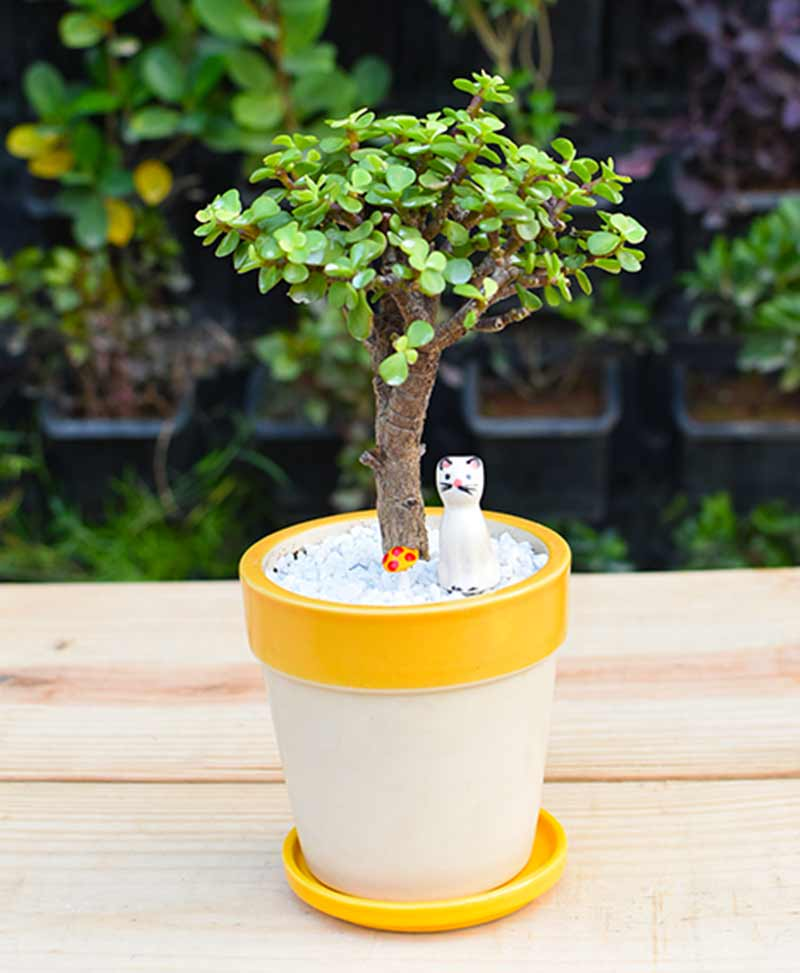 Ceramic White Yellow Strip Pot with Jade Plant