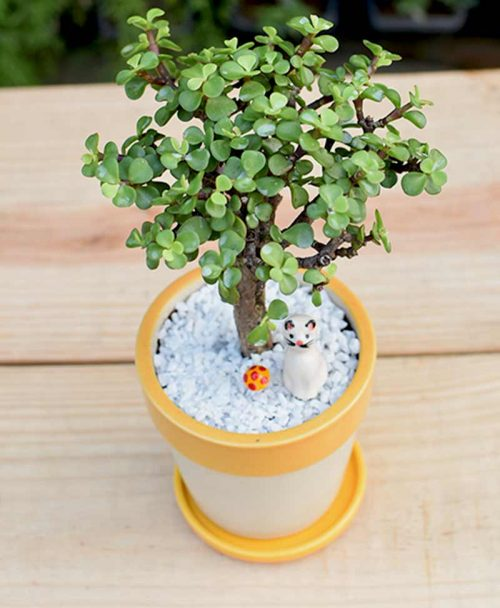 Ceramic White Yellow Strip Pot with Jade Plant -2