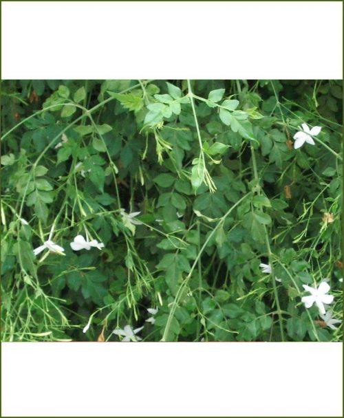 Jasminum Grandiflorum - Jai Plant (Chameli Creeper)