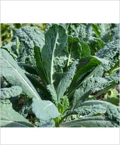 Kale Plants 10 Inch Bag