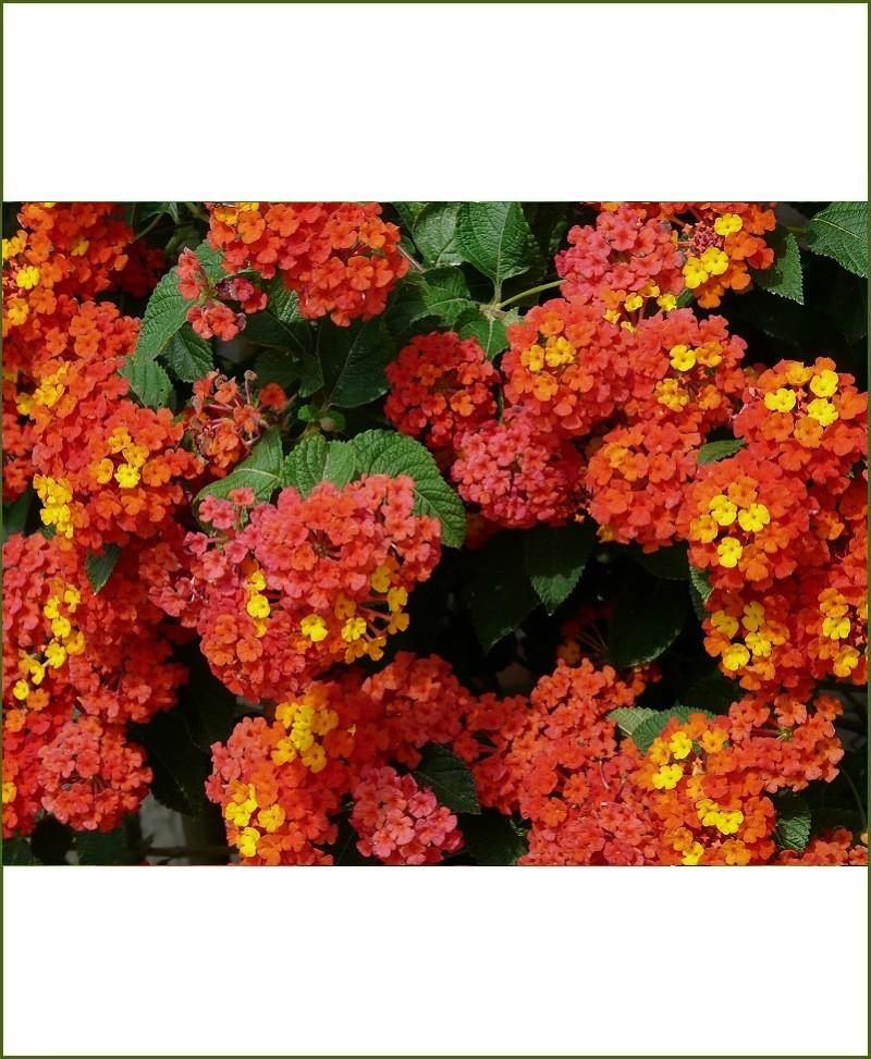 Lantana Camara, Big Sage, Wild Sage, Red Sage, White Sage, Tickberry