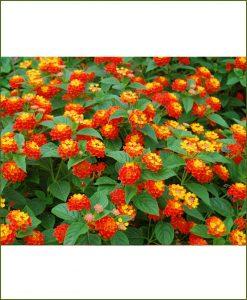 Lantana Multicolor