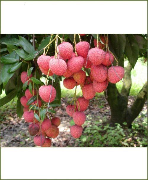 Litchi Chinensis, Lichi Plant
