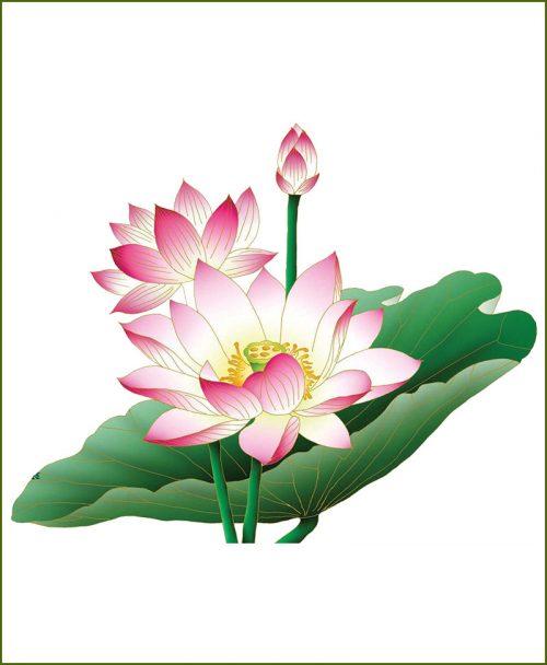 Lotus (Kamal) Plants