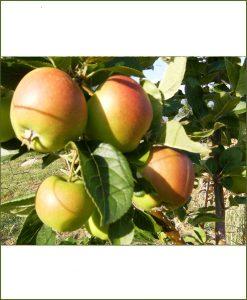 Malus Pumila, Apple Tree Plant