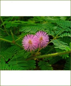 Mimosa Pudica, Touch Me Not, Shameplant, Chhuimui