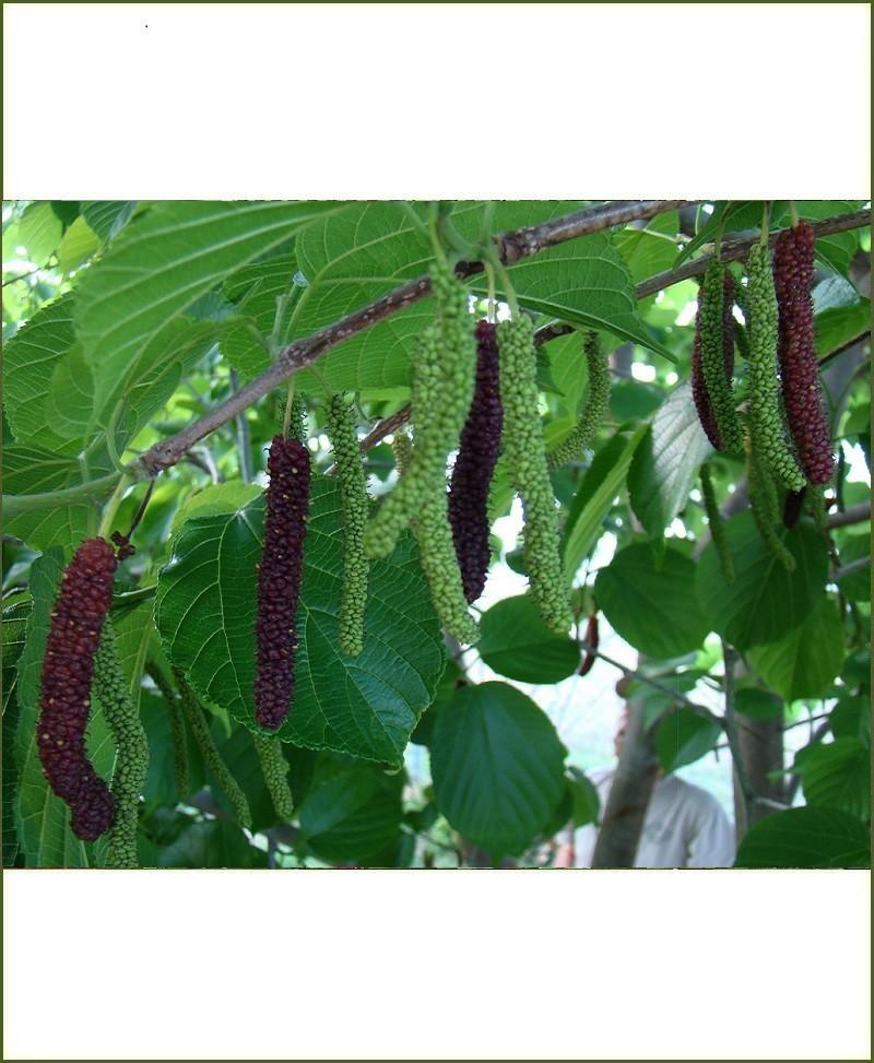 Morus Macroura, Himalayan Mulberry, Shahtut Long