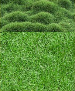 Nilgiri Grass